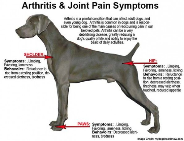 dog-joint-pain-info-595x456
